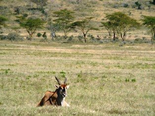 Eland antelope in kenya