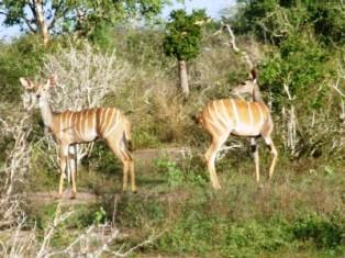 Lesser Kudu kenya animals