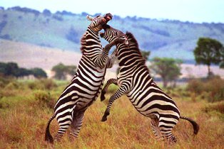 zebras of lake mburo national park