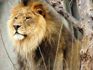 the Simba King of wildlife and animals in kenya