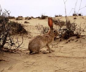 Kenya Cape Hare