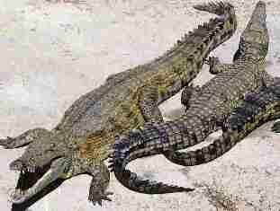 Kenya Crocodiles