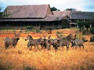 zebras arriving Kilaguni Serena Lodge