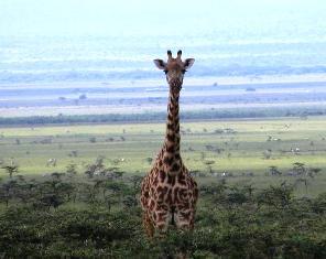 The Girrafe of Masai Mara wilderness game reserve in kenya