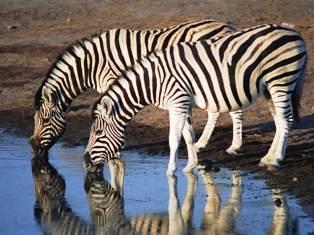 Reticulated Giraffe and Grevy Zebra of   Samburu national park in Kenya