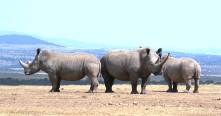 the Rhinos of Meru national Park  in Kenya