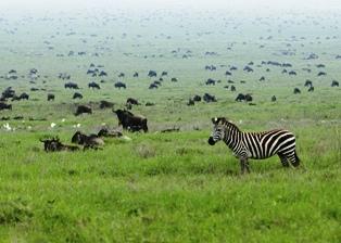 wildebeest at the Masai Mara