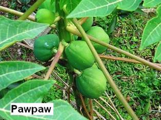 How to make Tanzania Green Pawpaw Soup Recipe.