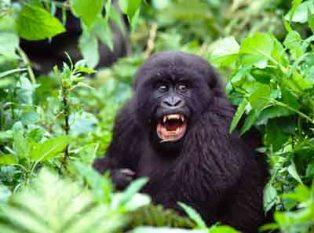 the gorillas at Volcanoes Bwindi