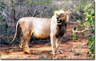 the simba of tsavo national park kenya